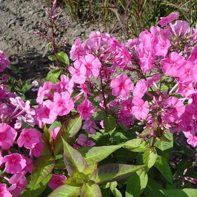 Phlox amplifolia 'Winnetou' - Vlambloem/Flox - Phlox amplifolia 'Winnetou'