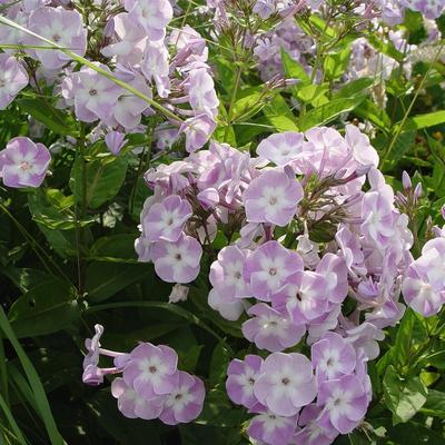 Phlox paniculata 'Katherine' -