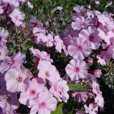 Phlox paniculata JS 'Rosanne' - Vlambloem, floks - Phlox paniculata JS 'Rosanne'