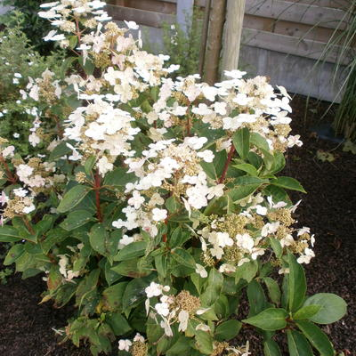 Hydrangea paniculata 'Dharuma' - Pluimhortensia - Hydrangea paniculata 'Dharuma'