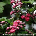 Tweestijlige meidoorn - Crataegus x media 'Paul's Scarlet'