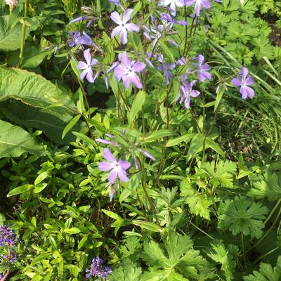 Phlox divaricata subsp. laphamii -