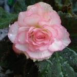 Begonia grandiflorum 'Picotee White Red' - Begonia grandiflorum 'Picotee White Red' - Begonia