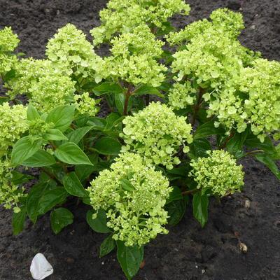 Hydrangea paniculata 'Jane' - Pluimhortensia - Hydrangea paniculata 'Jane'