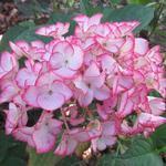 Hydrangea macrophylla 'Salsa' - Hortensia / bolhortensia - Hydrangea macrophylla 'Salsa'