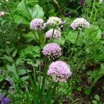 Sierui, Berglook - Allium senescens subsp. montanum 'Summer Beauty'