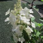 Hydrangea paniculata 'Tardiva' - Pluimhortensia - Hydrangea paniculata 'Tardiva'