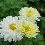 Chrysant - Chrysanthemum indicum 'Poesie'