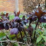 Nieskruid - Helleborus orientalis 'Black'