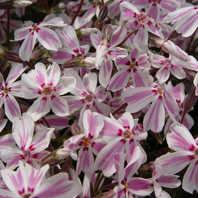Phlox subulata 'Candy Stripes' - Kruipphlox - Phlox subulata 'Candy Stripes'