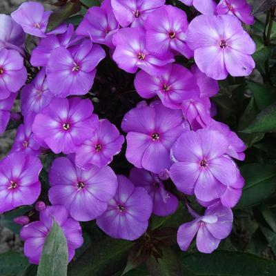 Phlox paniculata 'SWEET SUMMER Temptation' -