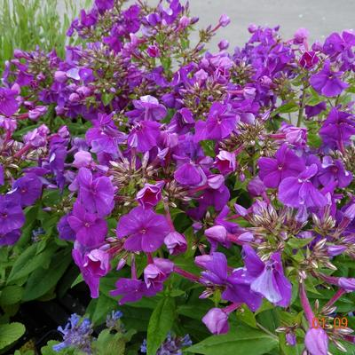 Phlox paniculata 'Violet FLAME' -