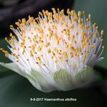 Haemanthus albiflos - Haemanthus albiflos - Poederkwast