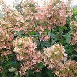 Hydrangea paniculata 'Kyushu' - Hortensia, Pluimhortensia - Hydrangea paniculata 'Kyushu'