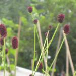 Sanguisorba officinalis - Grote pimpernel - Sanguisorba officinalis