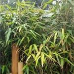 Pseudosasa japonica - Japanse bamboe, Schijnbamboe, Sjalotbamboe - Pseudosasa japonica