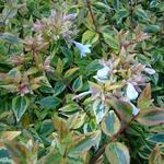 Abelia x grandiflora 'Kaleidoscope' - Abelia - Abelia x grandiflora 'Kaleidoscope'
