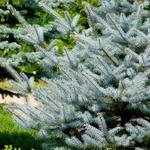 Picea pungens 'Super Blue Seedling' - Picea pungens 'Super Blue Seedling' - kerstboom - Blauwspar
