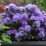 Rhododendron 'Ramapo' - Rododendron - Rhododendron 'Ramapo'