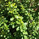 Ilex crenata 'Dark Green' - Japanse hulst - Ilex crenata 'Dark Green'
