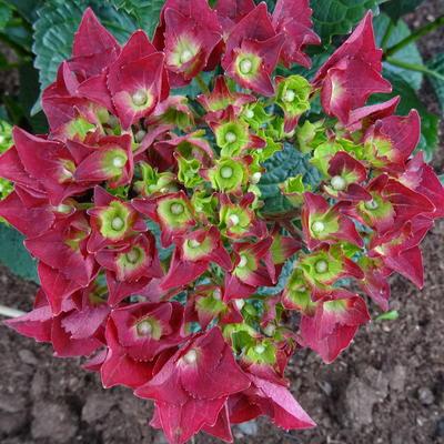 Hydrangea macrophylla 'MAGICAL Ruby tuesday' -