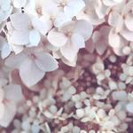 Hydrangea macrophylla (Wit) - Hortensia / bolhortensia - Hydrangea macrophylla (Wit)