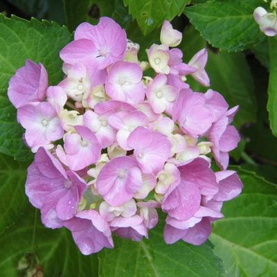 Hydrangea macrophylla (Roze) - Hortensia / bolhortensia - Hydrangea macrophylla (Roze)