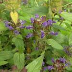 Prunella vulgaris - Gewone brunel, Bijenkorfje, Heelkruid - Prunella vulgaris