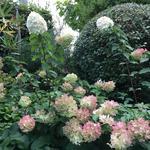 Hydrangea paniculata 'Polar Bear' - Pluimhortensia - Hydrangea paniculata 'Polar Bear'