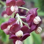 Akebia quinata - Schijnaugurk/klimbes - Akebia quinata