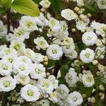 Spierstruik - Spiraea prunifolia