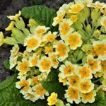 Primula veris 'Lime with Orange' - Sleutelbloem, Gulden sleutelbloem - Primula veris 'Lime with Orange'