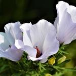 Alyogyne huegelii - Alyogyne huegelii - Blauwe Australische hibiscus, Valse hibiscus