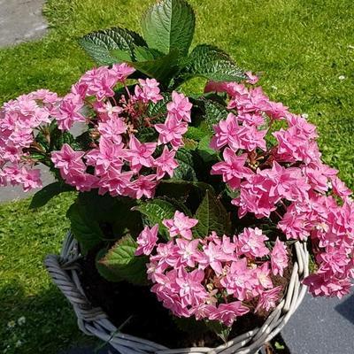 Hydrangea macrophylla 'Doppio Rosa' -