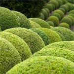 Buxus sempervirens - Buxus, randpalm - Buxus sempervirens