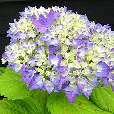 Hydrangea macrophylla FLAIR & FLAVOUR 'Sweet Cupcake' -