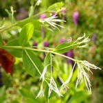 Chionanthus virginicus - Sneeuwvlokkenboom - Chionanthus virginicus