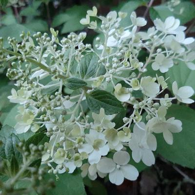 Hydrangea paniculata 'Diamantino' -