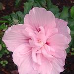 Altheastruik - Hibiscus syriacus 'Pink CHIFFON'