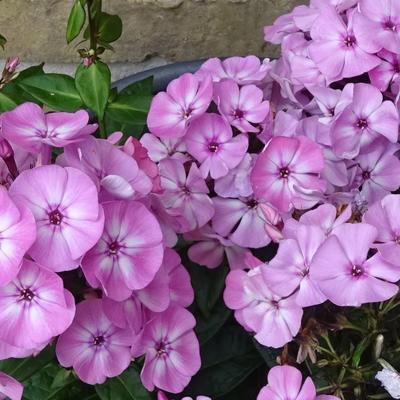 Phlox paniculata 'FAMOUS Pink' -