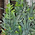 Phlebodium aureum - Phlebodium aureum - Blauwvaren, Zinkvaren