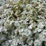 Acaena magellanica - Stekelnootje - Acaena magellanica