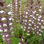 Stekelige berenklauw - Acanthus hungaricus 'White Lips'