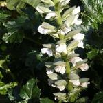 Stekelige berenklauw - Acanthus mollis 'Rue Ledan'