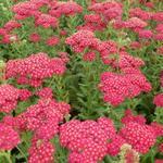 Duizendblad - Achillea millefolium 'Red Velvet'