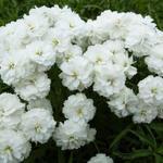 Achillea ptarmica 'Perry's White' - Duizendknoop - Achillea ptarmica 'Perry's White'