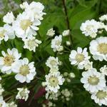 Achillea ptarmica 'Xana' - Duizendblad - Achillea ptarmica 'Xana'