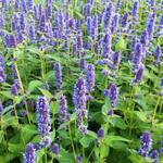 Agastache 'Blue Fortune' - Dropplant - Agastache 'Blue Fortune'
