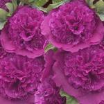 Stokroos - Alcea rosea 'Chater's Double Purple'
