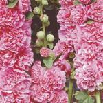 Stokroos - Alcea rosea 'Chater's Double Pink'